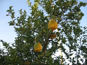 نارنج پارساله!