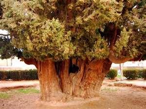 دومین درخت کهنسال جهان